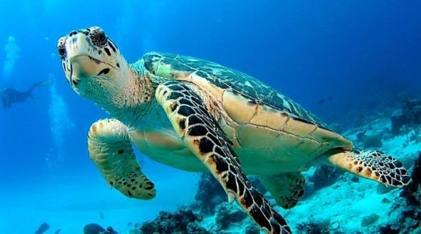 Green Sea Turtle, Great Barrier Reef Australia